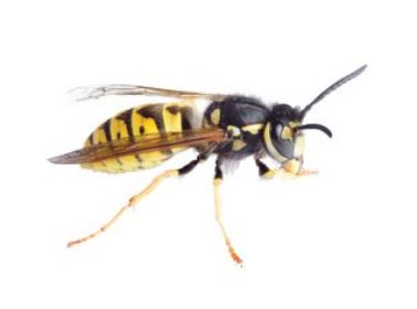 Bee and Wasp Nest Removal